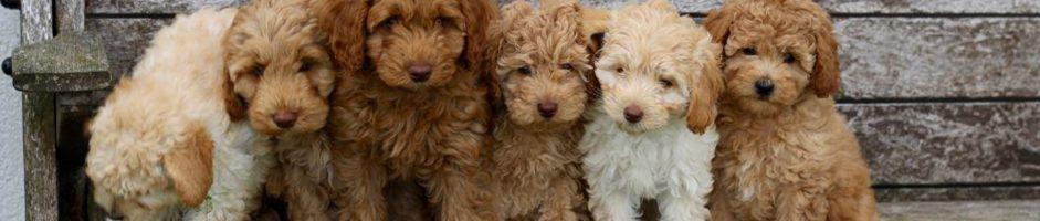 Wachtlijst Labradoodle pup